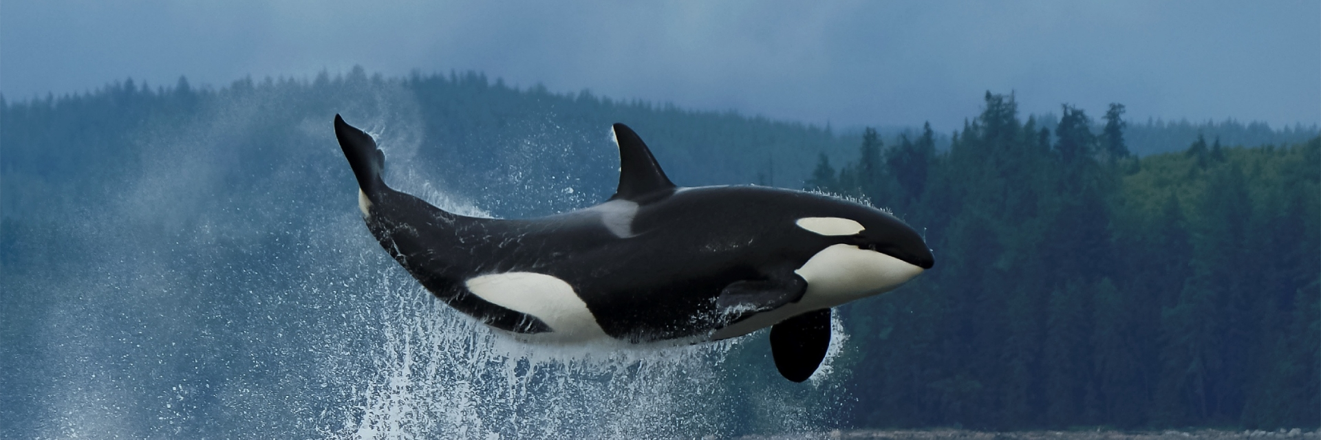 Orca breaching off the coast of Vancouver Island.